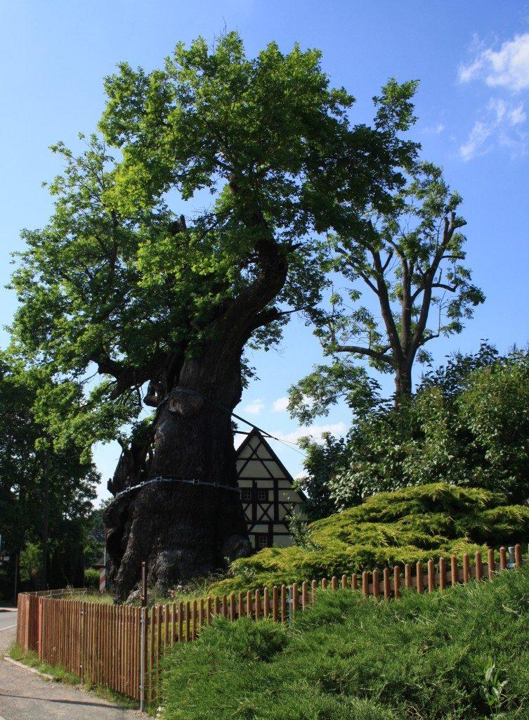 Die 1000jährige Eiche in Nöbdenitz, Museum Burg Posterstein