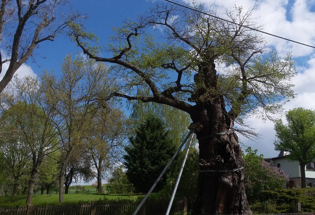 Der Sachsen-Gotha-Altenburgische Minister Hans Wilhelm von Thümmel liegt noch heute unter der 1000-jährigen Eiche von Nöbdenitz begraben. (Foto: Museum Burg Posterstein, 2018, inzwischen hat das Naturdenkmal ein weiteres Stützsystem erhalten)